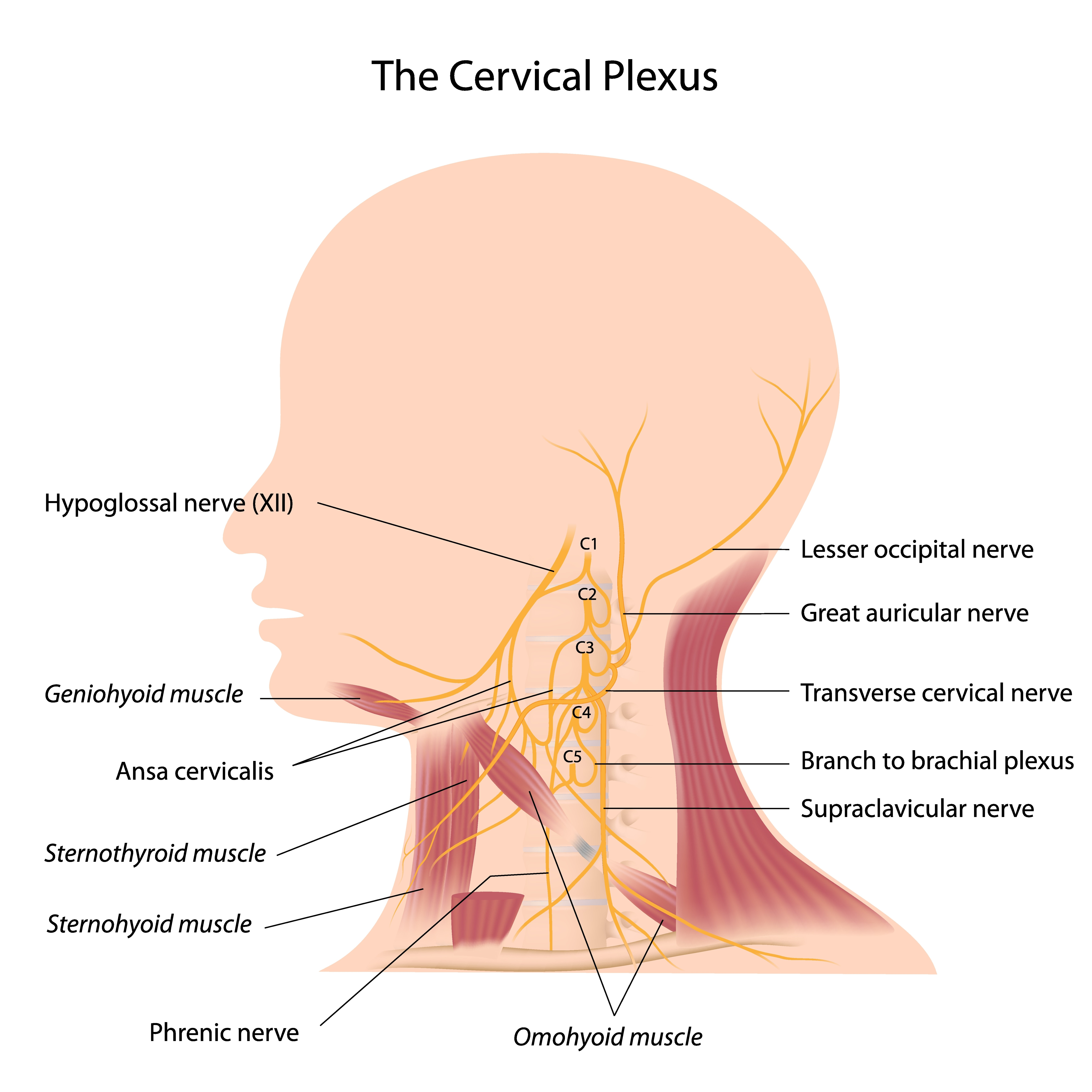 Focus on the Cervical Fascia... - VM Study Group